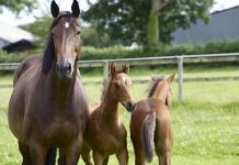 Mare with foals (by illustration).