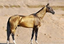 The golden Akhal-Teke horse, ancient root stock for the modern athletic equine. (Photo by Artur Baboev.)
