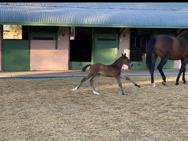Danon Platina (JPN) colt, a first-born for his sire at Mauritzfontein.